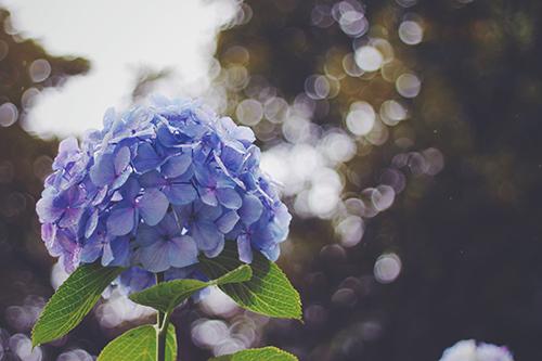 咲き乱れた紫陽花(あじさい)の中を歩いて行く女の子のフリー写真素材(商用可)
