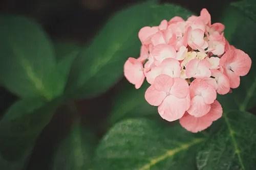 ふんわり可愛い白色の紫陽花(あじさい)のフリー写真素材(商用可)