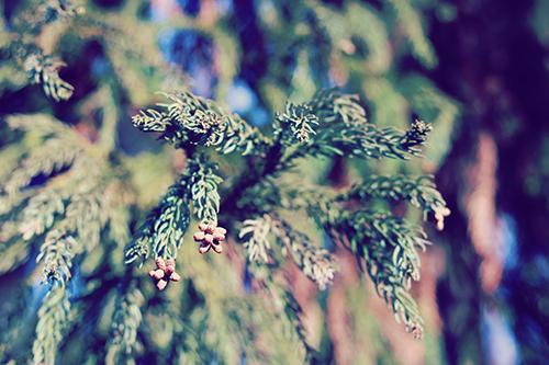 花粉を飛ばしまくっているモンスター:杉のフリー写真素材(商用可)