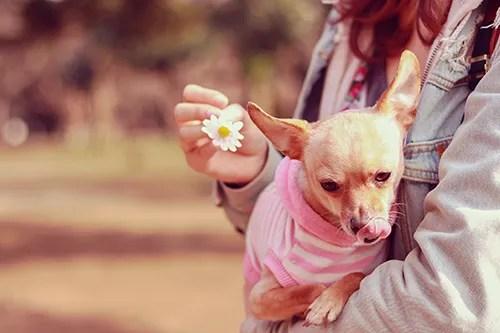 女の子の腕の中でペロッと舌を出す可愛いわんこのフリー写真素材(商用可)