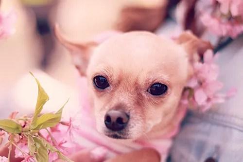 桜の髪飾りをつけているように見える可愛いわんこのフリー写真素材(商用可)