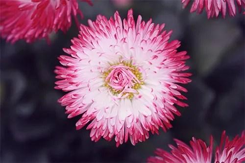 春に咲いたデイジーの花たちのフリー写真素材(商用可)