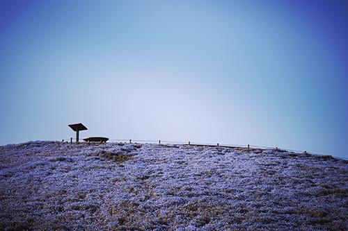 雲ひとつない空とネモフィラが咲き乱れる丘のフリー写真素材(商用可)