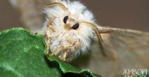 Бабочка кольчатого коконопряда