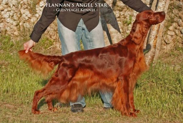 En la foto nuestro ejemplar Flannan's Angel Star, Jamie. Ejemplo de un perro de aspecto limpio y cuidado, con un pelaje sano y brillante, fruto de baños regulares, cepillados, cortes de pelo, una buena alimentación y ejercicio.