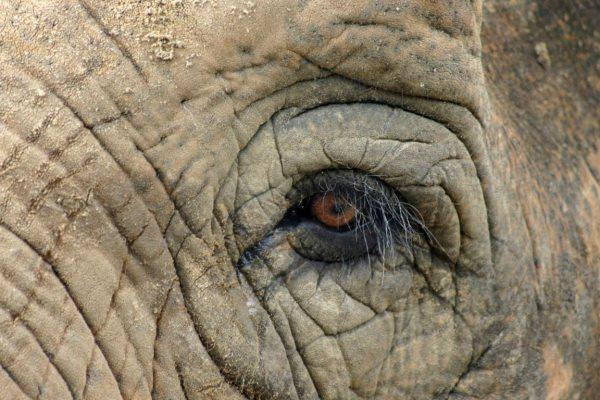 elephant-eye-portrait