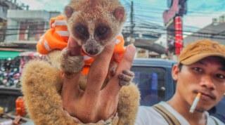 Loris | Global Animal Welfare Development Society | Brad Anthony