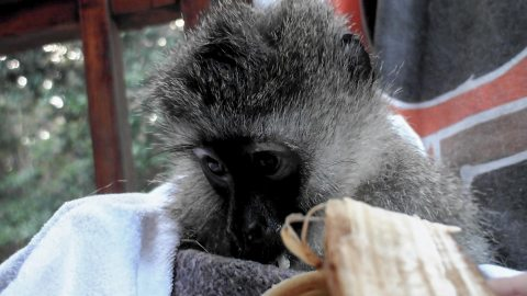 Hope is a rescued Vervet Monkey, who lived in South Africa. The story of her struggle to survive and recover touched thousands worldwide. She was killed in June 2013 by those entrusted with her care.