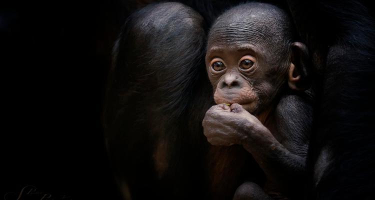 Chimp @ Frankfurt Zoo, Germany