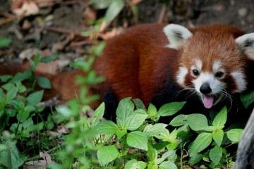 Red Panda Found in Myanmar