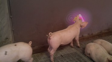 Pig Chase