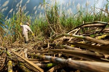 mauritius_sugar-cane