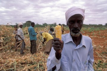 harvest-maize-kenya-wb