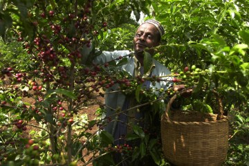 Mohammed Fita, an Ethiopian coffee farmer picks coffee in his farm Choche, near Jimma, 375 kilometers ( 234 miles) southwest of Addis Ababa, Sept. 21 2002. (AP Photo/Sayyid Azim)