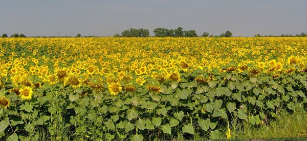 Sunflower fields in Zbrojníky, Slovakia. Photo by Pe-Jo.