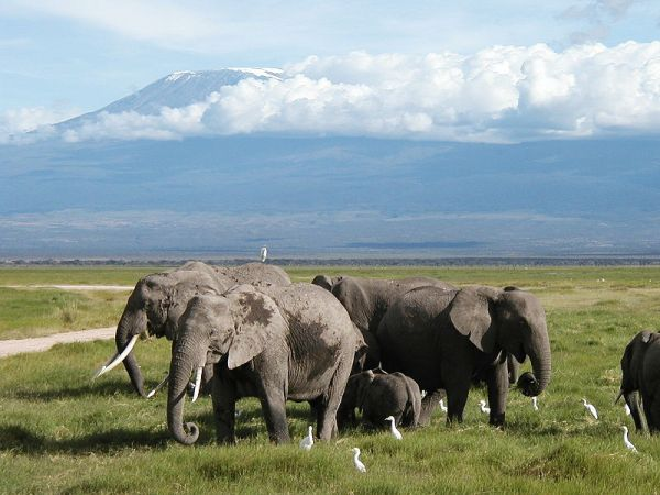 African Elephants in Amboseli National Park. Photo by M. Disdero.
