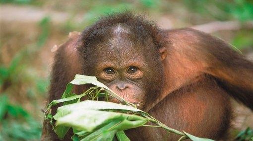 Borneo Orang-utan Discovery