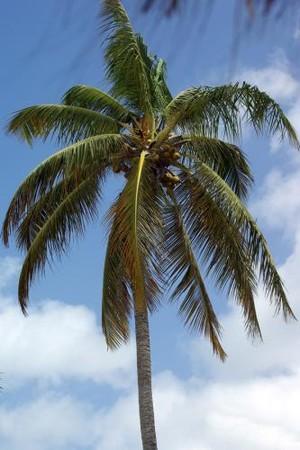 marissa_carter_Coconut_Palm_2_