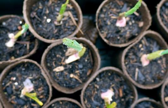 garlic sprouts