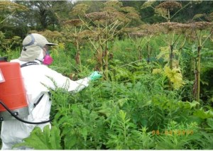 Spraying systemic herbicides to kill giant hogweed