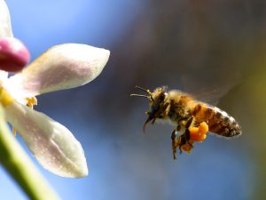 Honey bee approaching a flower.  Photo from pdphoto.org.