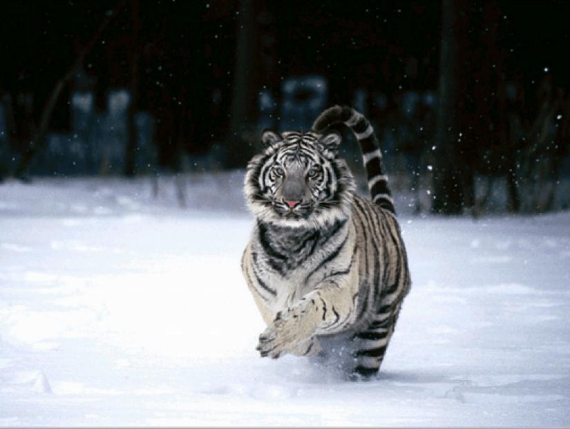 tigre siberiano Gabriel Morales