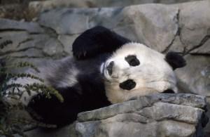 panda Morales Fallon