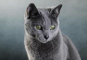 gato azul