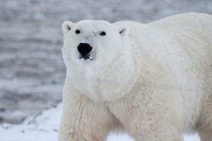 polar bear Morales Fallon
