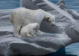 polar bears Morales Fallon