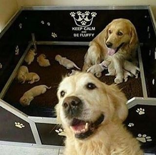 The proudest parents goldenretriever golden instapet instadog instalove cute lovehellip