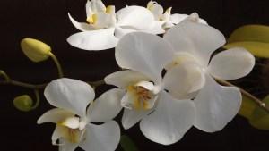 orquidea Morales Fallon
