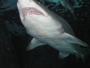 shark morales Fallon