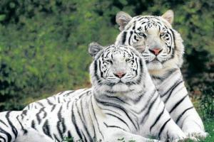 tigre blanco Morales Fallon