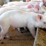 Agriculture: How To Start A Pig Farming Business In Nigeria