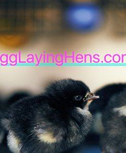 EggLayingHens.com_Birds_CM_1148
