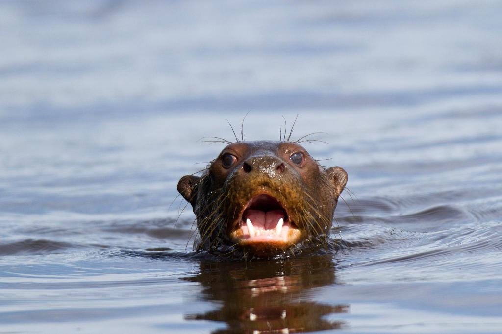 River Otters are increasingly rare in Tambopata