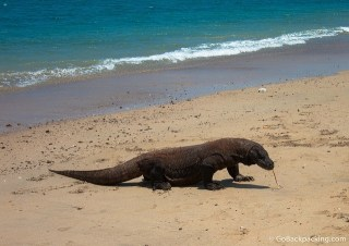 Komodo National Park: Face to Face with Komodo Dragons in the Wild