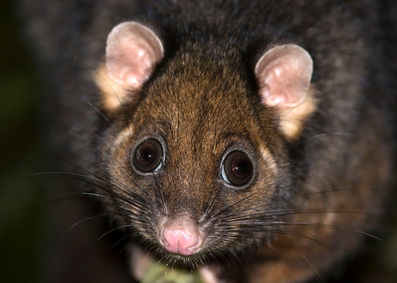 Eastern Ring-tailed Possum