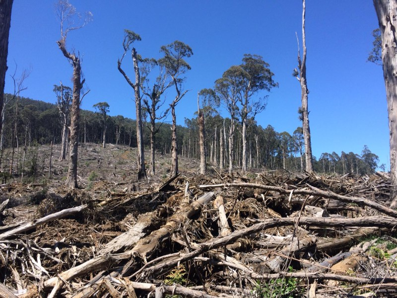 Recent coupe in Toolangi - not yet burnt