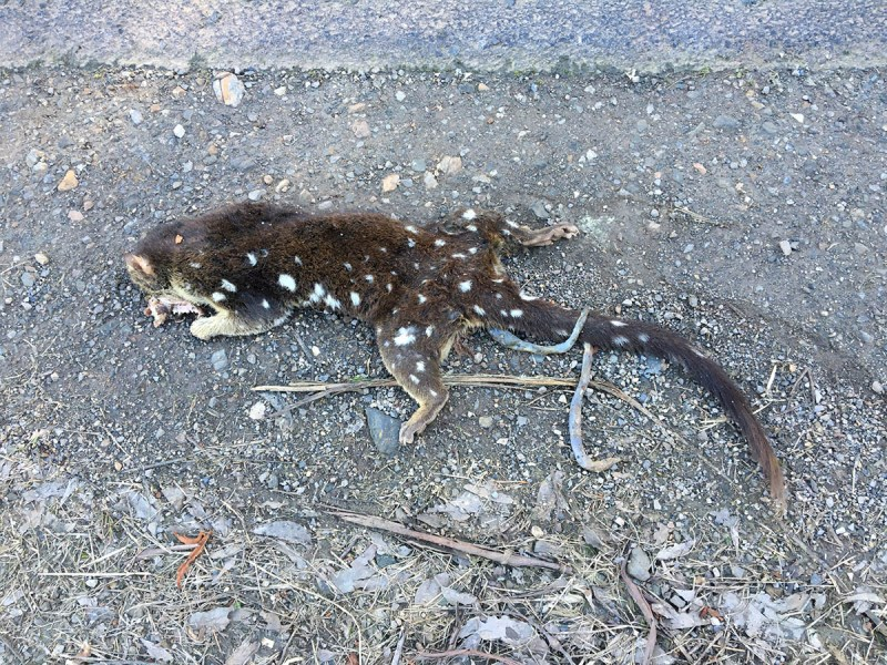 An ex-quoll