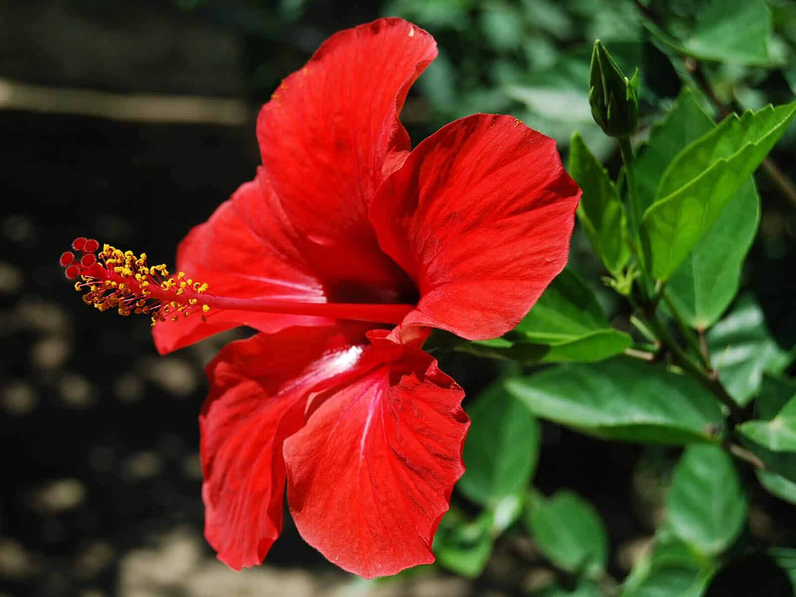 Hibiscus Flower Benefits For Hair Hibiscus For Health And Beauty - Gofooddy