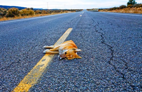 Dead Dog on the Road