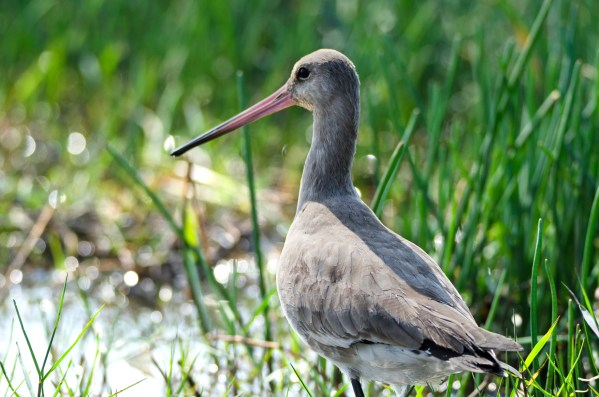 The Godwit: Possibly the brand ambassador of Mangalajodi