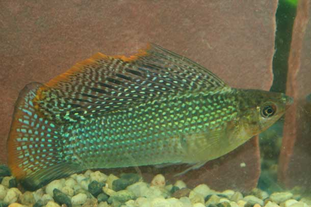Green Sailfin Molly Male