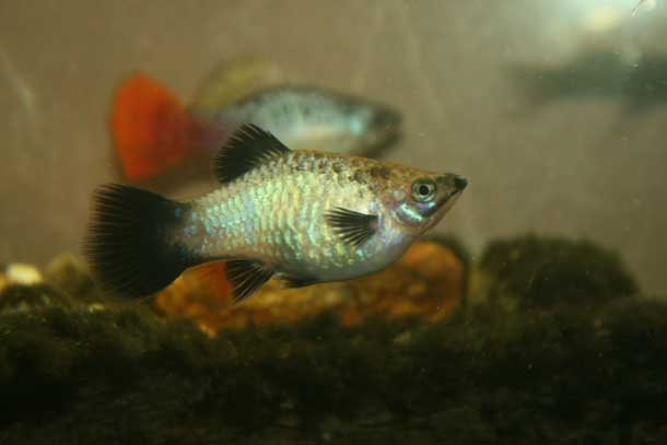 Blue Opal Wag Maculatus Female
