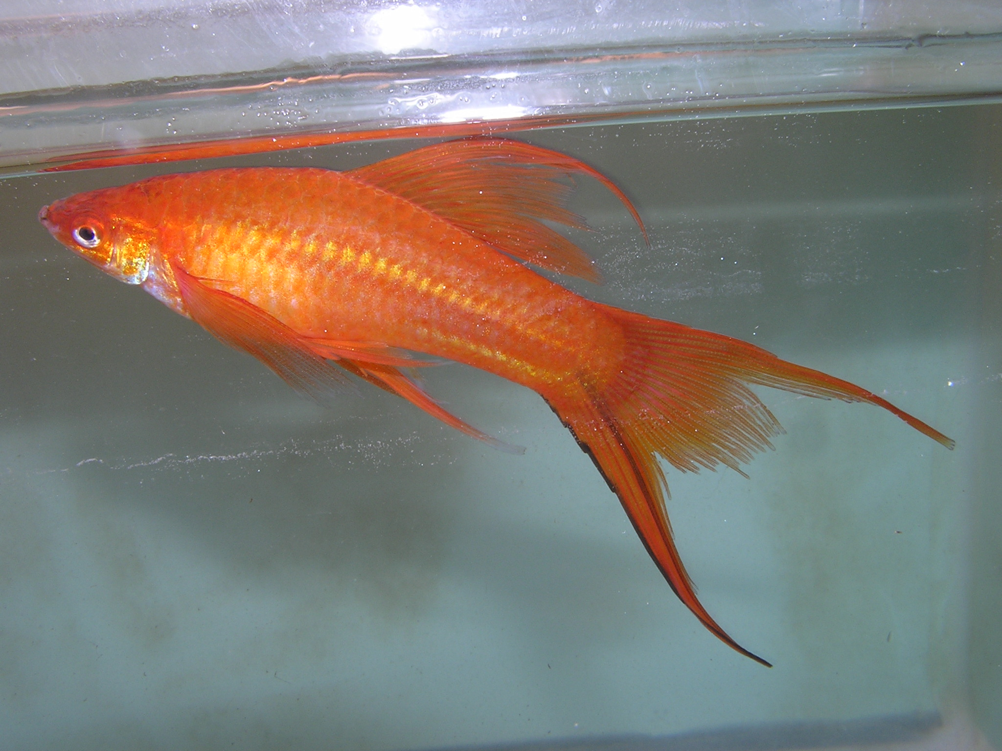 Male Red Lyretail Swordtail