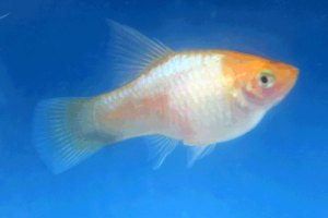 Photo of a female Hifin Blue Opal Maculatus.