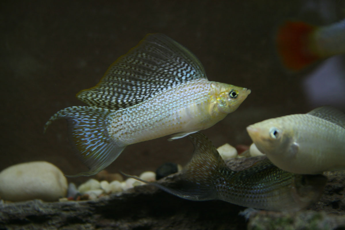 Photo of male silver lyretail molly.