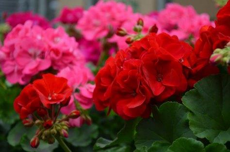 geraniums web